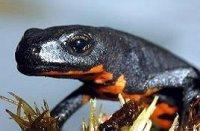 Salamandra chinezeasca cu burta de foc