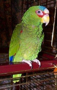 Papagal amazonian