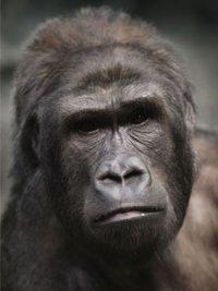 Binti Jua, gorila eroina