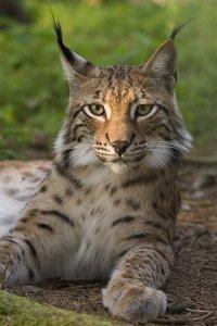 Lynx lynx - rasul eurasiatic sau carpatin