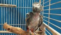 Papagal Jako stresat