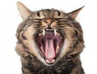 Dentitie pisica
