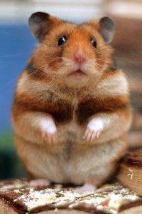 Hamster sirian (auriu)