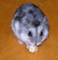 Hamster pitic rusesc alb de iarna