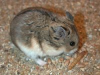 Hamsterul pitic rusesc Campbell