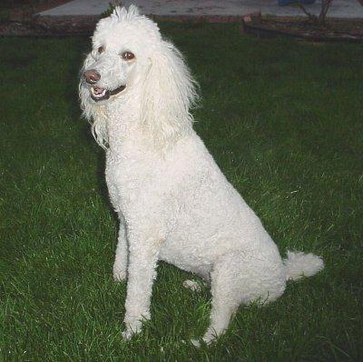 Poodle caniche standard