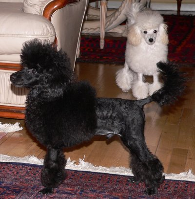 Poodle caniche toy