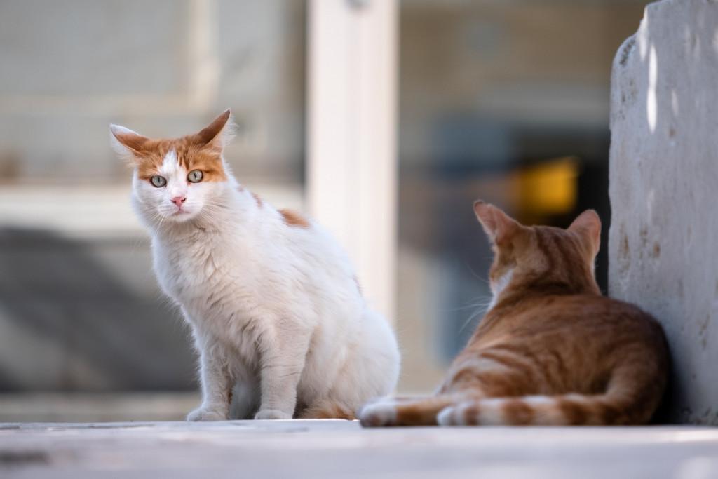 Pisici maidaneze