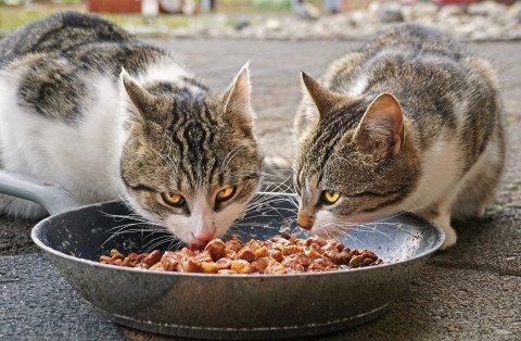Pisici mancand