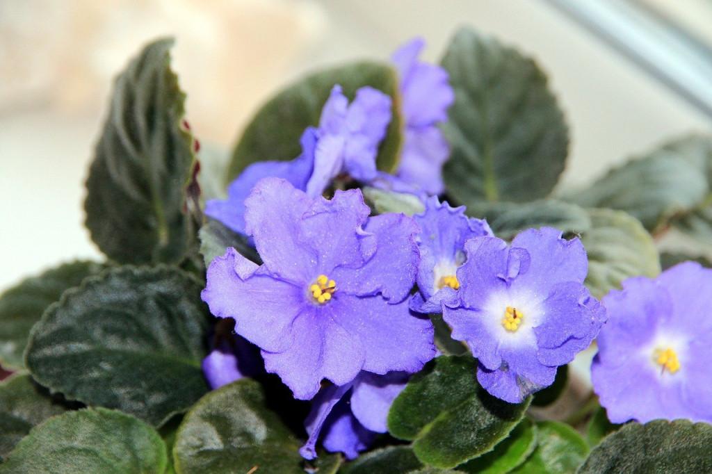 Violete africane