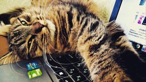 Pisica pe laptop