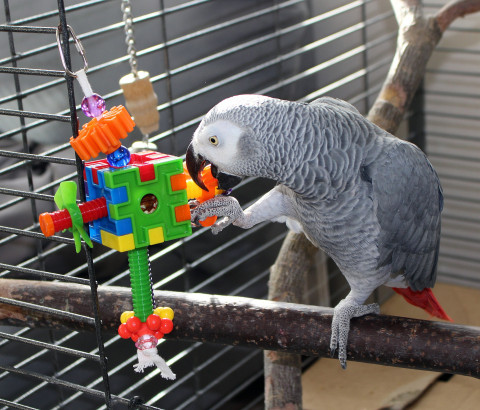 Papagal Jako