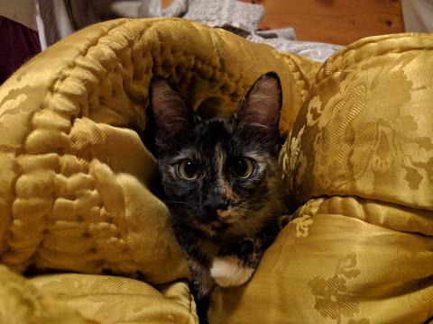 Pisica Tortoiseshell